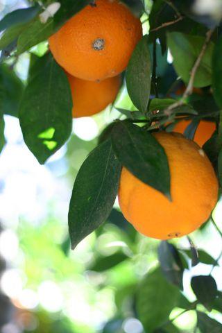 Joan's oranges