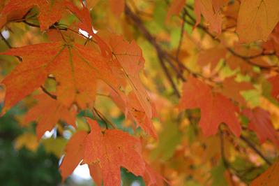 Fall_color_04_leaves_closeup_1